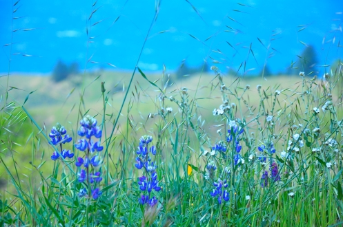 Lupines & Sea blue